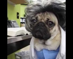 Doug The Pug Stars In Pug's Anatomy! Too Darn Adorable!!
