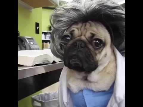 Doug The Pug Stars In Pug's Anatomy! Too Darn Adorable!!
