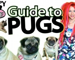 Guide to Pugs ~ Pug Care 101