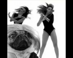 This Pug Is The New Beyonce. And It's Awesome!