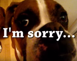 (VIDEO) The Boxer Dog That Ate Christmas!