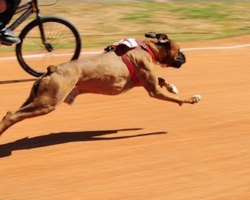 The Race Is On!! Boxer Dog vs Human BMX Race
