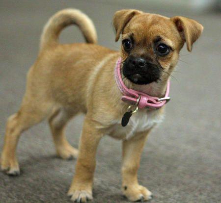 Chug Chihuahua Pug mix