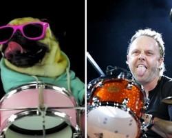 "Badass Drummer Pug Performs Killer Cover of Metallica's ""Enter Sandman"""