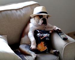 English Bulldog Watching The Walking Dead Like a Boss Is Too Cute!