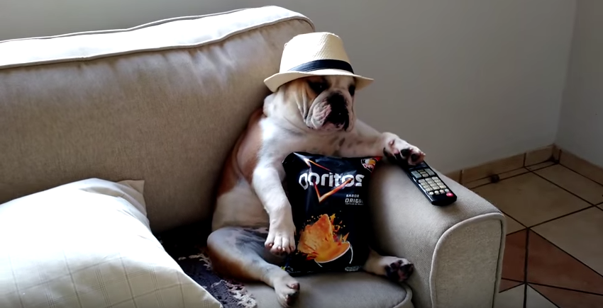 Tv Couch Walking Dead English Bulldog Watching The