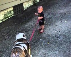 Baby Trying to Walk an 80-Pound Bulldog Will Brighten Up Your Day!