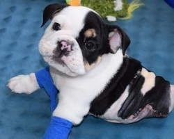 This Bulldog Puppy Might Be Half a Puppy But He's Full of Love