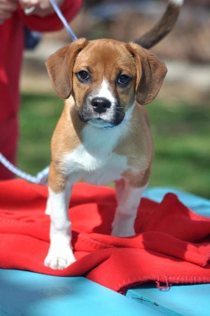 Beagle + Boxer = Boxel
