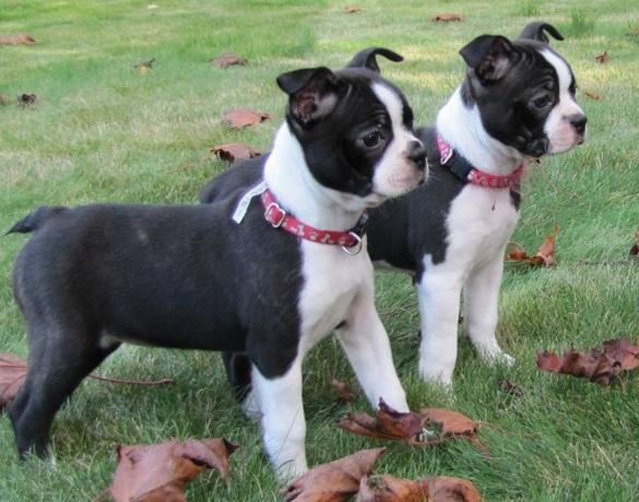 Boston Terrier + Boxer = Miniature Boxer Boston Terrier