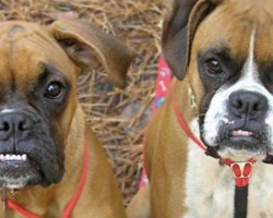 10 Reasons Why You Should NEVER Own A Boxer