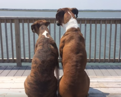 "Two Boxers, ""just sittin' on the dock of the bay, wasting time."" Will Warm Your Heart!"