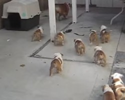 Bulldog Puppies Chasing Mommy! Oh my….poor mommy, she needs a break!