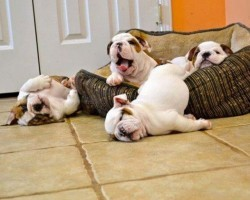 (VIDEO) Bulldogs Are Awesome!! These Hilarious Bulldog Moments Will Make Your Day!