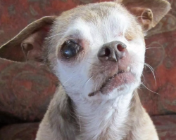 "Chihuahua Wins Nation's Top Title ""American Hero Dog"" At The 2015 American Humane Association Hero Dog Awards"