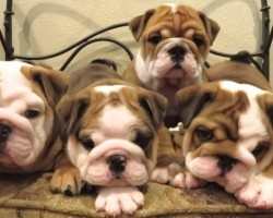 Cutest English Bulldog Puppies Ever! They Will Melt Your Heart!