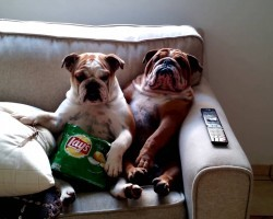 English Bulldogs Watch a Scary Movie. Their Expressions are So Cute and Hilarious!