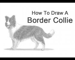 How to Draw a Border Collie!