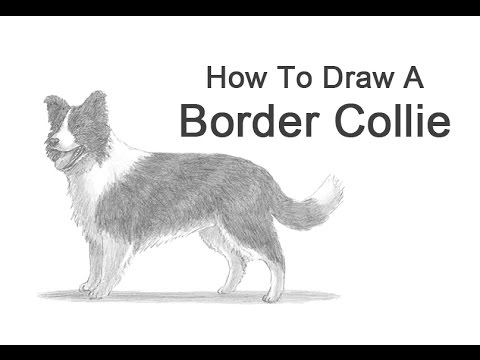 how to draw a simple border collie