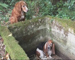 Faithful Dog Stands Guard for a WEEK with her Trapped Canine Friend Until the Pair are Found by Walker