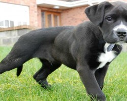 9 Unreal Boxer Cross Breeds You Have To See To Believe
