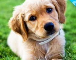 Look What we JUST Discovered about Golden Retrievers!