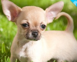 Look What we JUST Discovered about Chihuahuas!