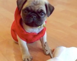 This Pug Puppy Playing With A Stuffed Olaf Is The Cutest Thing Ever!