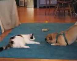 Pug vs Cat. Who Reigns Supreme?