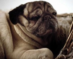 """This Documentary """"Pugs – Disowned Heroes"""" is a MUST WATCH for All Pug Lovers"""