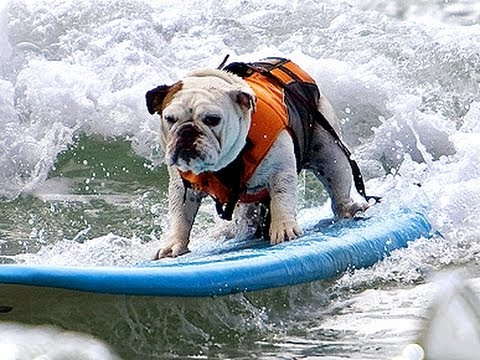 Tillman the Surfing Bulldog Rides the Wave Like a Boss! He's AWESOME!