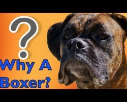 Why On Earth Would You Get a Boxer?! Here Are Ten PERFECT Reasons Why