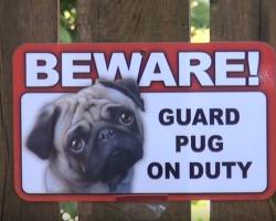 Beware! Guard Pug On Duty!