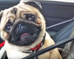 This Adorable Pug LOSES IT When He Finds Out Where He's Going