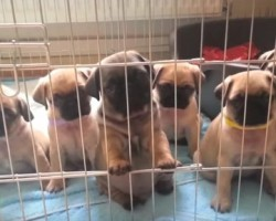 (VIDEO) Watch These Cutest Pug Puppy Clips Of ALL Time! and Be Happy!