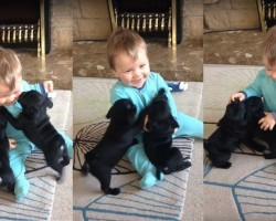 Watch Pug Puppies Rush To Kiss Baby and Give Him the Giggles – Guaranteed To Make Your Day!