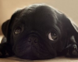 5 Reasons Why You Should Never Own Pugs