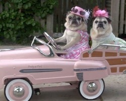 Cutest Pugs Drive Cars! Seriously, this is the cutest thing….EVER!!!!