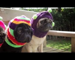 Documentary Proves Pugs Are The Best Dogs Ever
