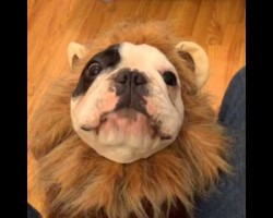 French Bulldog Transforms Into a Cute, Scary Lion! Just Listen To The Roar!