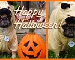 10 More Awesome Halloween Costumes For Pugs