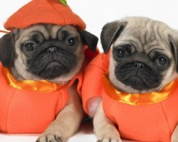 10 Awesome Halloween Costumes For Pugs