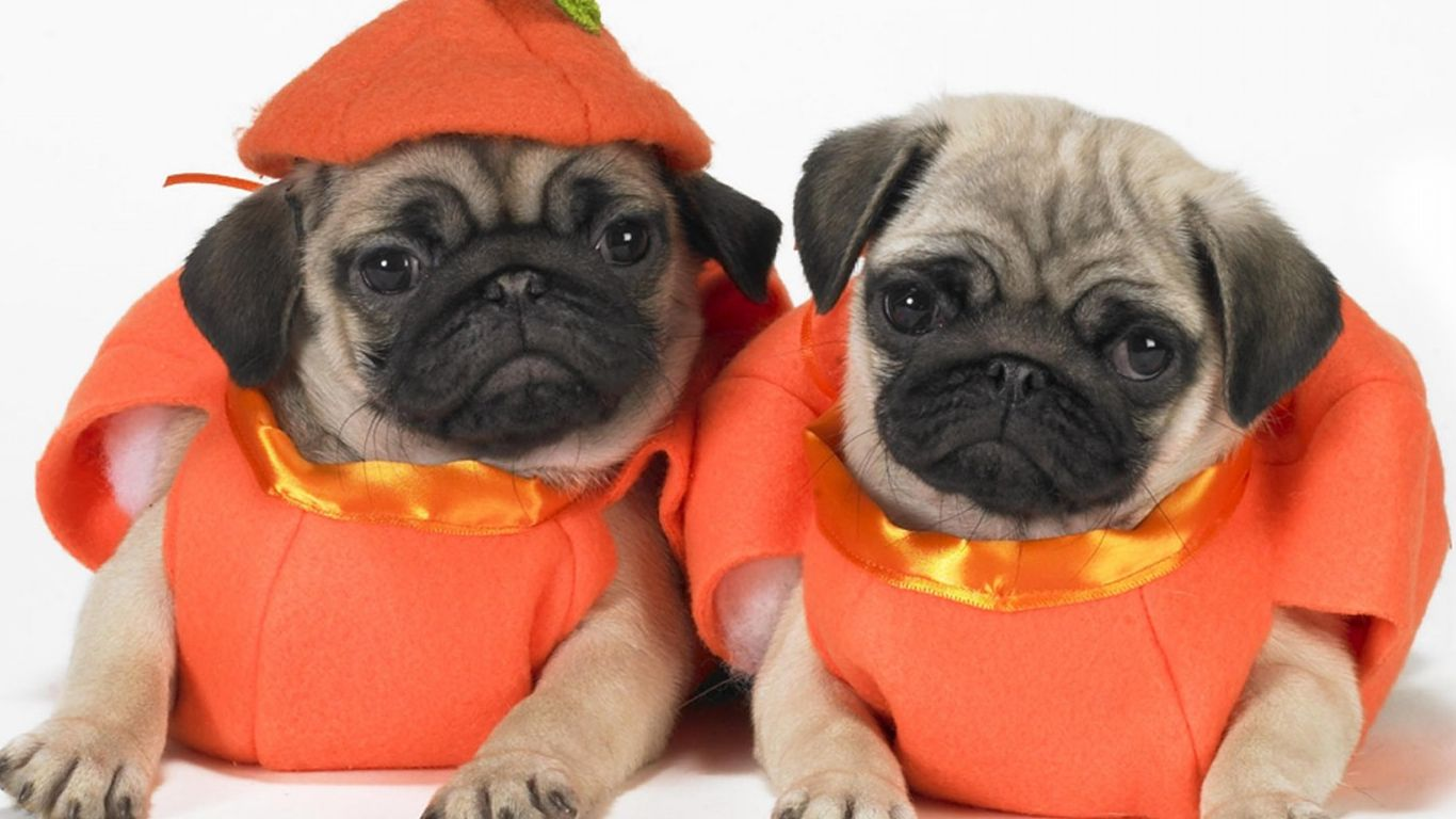 10 awesome halloween costumes for pugs - Pugs Halloween Costumes