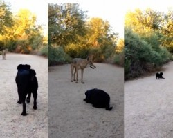 Pug and Coyote's Unlikely Friendship. It's Amazing To Watch!