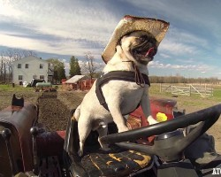 Pug Drives Tractor To Help Prepare the Fields for Carrot Harvest