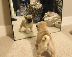 Pug Puppies Fight Their Own Mirror Reflections. It's The Cutest Thing Ever!