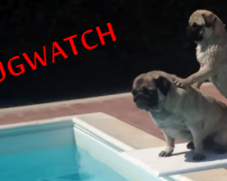 (VIDEO) Pugwatch – Baywatch Parody starring Lifeguard Pugs!
