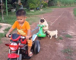 Pugs Enjoy Scenic Motorcycle Ride. Pug Puppy Falls Off. Watch What Happens!