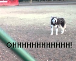 This Husky Doesn't Want To Leave The Dog Park! The Way He Protests Is Hysterical!