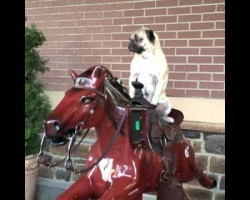 This Pug Riding A Mechanical Horse Will Put A Smile On Your Face!
